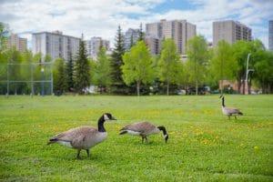 on-site goose control service